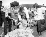 Sheep shorn at Pierce College workshop