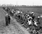 Farm laborers working the fields