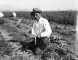 Laborer harvesting carrots