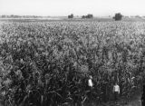 Standing in a corn field
