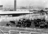 Wilson & Co., beef in the stockyards