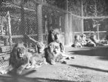 Typical scene at Gay's Lion Farm