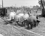 Elephants at Russell Brothers Circus.  Richard Brandon visited the circus frequently.